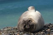 Photo: dd001748Southern Elephant Seal, Mirounga leonina, Peninsula Valdes,  Atlantic, Patagonia, Argentina