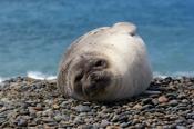 Photo: dd001750Southern Elephant Seal , Mirounga leonina,  Peninsula Valdes,  Atlantic, Patagonia, Argentina