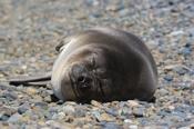 Photo: dd001752Southern Elephant Seal , Mirounga leonina,  Peninsula Valdes,  Atlantic, Patagonia, Argentina