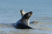 Photo: dd001832     Horsehead seal, Halichoerus grypus, Helgoland, North Sea, Germany