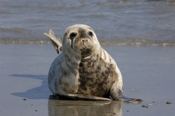 Photo: dd001903     Horsehead seal, Halichoerus grypus, Helgoland, North Sea, Germany
