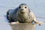 Photo: dd001906     Horsehead seal, Halichoerus grypus, Helgoland, North Sea, Germany