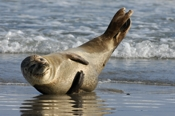 Photo: dd001909     Horsehead seal, Halichoerus grypus, Helgoland, North Sea, Germany