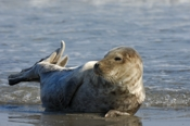 Photo: dd001910     Horsehead seal, Halichoerus grypus, Helgoland, North Sea, Germany