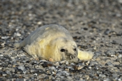 Photo: dd011053     Horsehead seal pup, Halichoerus grypus, Helgoland, North Sea, Germany