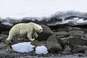 Photo: dd011330Polar bear , Ursus maritimus,  Svalbard, Arctic, Norway