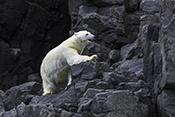 Photo: dd011331Polar bear , Ursus maritimus,  Svalbard, Arctic, Norway