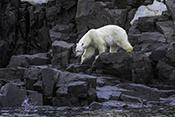 Photo: dd011332Polar bear , Ursus maritimus,  Svalbard, Arctic, Norway