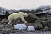 Photo: dd011333Polar bear , Ursus maritimus,  Svalbard, Arctic, Norway
