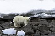 Photo: dd011334Polar bear , Ursus maritimus,  Svalbard, Arctic, Norway