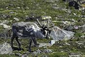Photo: dd011335Svalbard-reindeer , Rangifer tarandus platyrhynchus,  Svalbard, Arctic, Norway