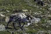 Photo: dd011336Svalbard-reindeer , Rangifer tarandus platyrhynchus,  Svalbard, Arctic, Norway