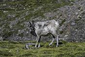 Photo: dd011337Svalbard-reindeer , Rangifer tarandus platyrhynchus,  Svalbard, Arctic, Norway
