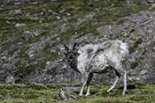 Photo: dd011338Svalbard-reindeer , Rangifer tarandus platyrhynchus,  Svalbard, Arctic, Norway