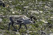 Photo: dd011339Svalbard-reindeer , Rangifer tarandus platyrhynchus,  Svalbard, Arctic, Norway