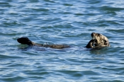 Photo: dd001753     Sea otter , Enhydra lutris,  Peninsula Monterey, Pacific Ocean, California, USA