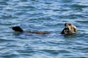 Photo: dd001753Sea otter, Enhydra lutris, Peninsula Monterey, Pacific Ocean, California, USA