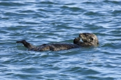 Photo: dd001754     Sea otter , Enhydra lutris,  Peninsula Monterey, Pacific Ocean, California, USA