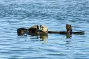 Photo: dd001755     Sea otter , Enhydra lutris,  Peninsula Monterey, Pacific Ocean, California, USA