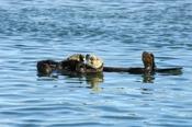 Photo: dd001755Sea otter, Enhydra lutris, Peninsula Monterey, Pacific Ocean, California, USA