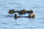 Photo: dd001760Sea otter, Enhydra lutris, Peninsula Monterey, Pacific Ocean, California, USA