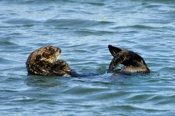 Photo: dd001761     Sea otter , Enhydra lutris,  Peninsula Monterey, Pacific Ocean, California, USA