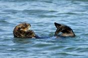 Photo: dd001761Sea otter, Enhydra lutris, Peninsula Monterey, Pacific Ocean, California, USA