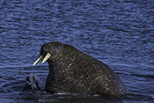 Photo: dd011210     Walrus , Odobenus rosmarus,  Svalbard, Arctic, Norway