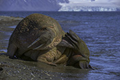 Photo: dd011211     Walrus , Odobenus rosmarus,  Svalbard, Arctic, Norway