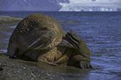Photo: dd011211Walrus, Odobenus rosmarus, Svalbard, Arctic, Norway