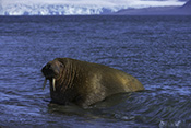 Photo: dd011212     Walrus , Odobenus rosmarus,  Svalbard, Arctic, Norway