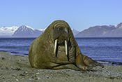 Photo: dd011215     Walrus , Odobenus rosmarus,  Svalbard, Arctic, Norway