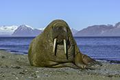 Photo: dd011215Walrus, Odobenus rosmarus, Svalbard, Arctic, Norway