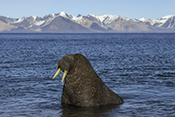 Photo: dd011216     Walrus , Odobenus rosmarus,  Svalbard, Arctic, Norway