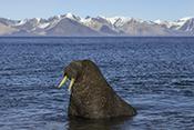 Photo: dd011216Walrus, Odobenus rosmarus, Svalbard, Arctic, Norway
