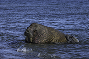 Photo: dd011219     Walrus , Odobenus rosmarus,  Svalbard, Arctic, Norway
