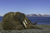 Photo: dd011340     Walrus , Odobenus rosmarus,  Svalbard, Arctic, Norway