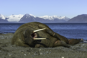Photo: dd011341     Walrus , Odobenus rosmarus,  Svalbard, Arctic, Norway