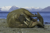 Photo: dd011342     Walrus , Odobenus rosmarus,  Svalbard, Arctic, Norway