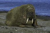 Photo: dd011344     Walrus , Odobenus rosmarus,  Svalbard, Arctic, Norway