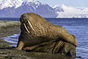 Photo: dd012000Walrus , Odobenus rosmarus,  Svalbard, Arctic, Norway