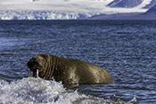Photo: dd012001Walrus , Odobenus rosmarus,  Svalbard, Arctic, Norway