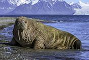 Photo: dd012003Walrus , Odobenus rosmarus,  Svalbard, Arctic, Norway