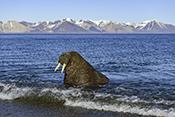 Photo: dd012004Walrus , Odobenus rosmarus,  Svalbard, Arctic, Norway
