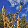 Photo: dd001428Bristlecone pine , Pinus longaeva,  Patriarch Grove, White Mountains, California, USA