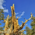 Photo: dd001431     Bristlecone pine , Pinus longaeva,  Patriarch Grove, White Mountains, California, USA