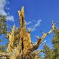 Photo: dd001431Bristlecone pine , Pinus longaeva,  Patriarch Grove, White Mountains, California, USA