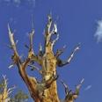 Photo: dd001435Bristlecone pine , Pinus longaeva,  Patriarch Grove, White Mountains, California, USA