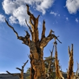 Photo: dd001436     Bristlecone pine, Pinus longaeva, Patriarch Grove, White Mountains, California, USA