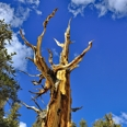 Photo: dd001437     Bristlecone pine, Pinus longaeva, Patriarch Grove, White Mountains, California, USA
